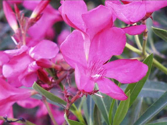 Unduh 85 Gambar Bunga Oleander Gratis Terbaru
